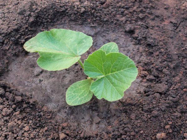 Выращиваем тыкву правильно для хорошего урожая