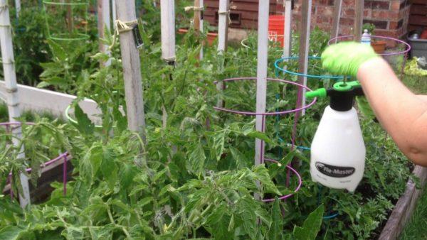 Чем подкармливать помидоры, чтобы был хороший урожай