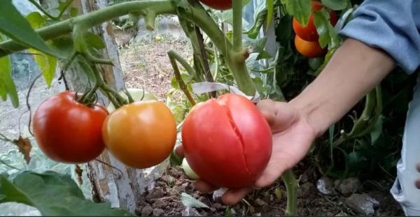 Почему трескаются помидоры в открытом грунте