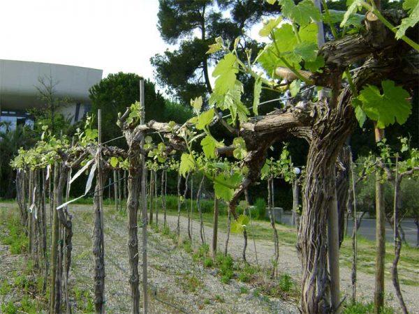 Обрезка винограда осенью: основные правила