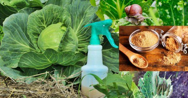 Горчичный порошок – лучший помощник огородника