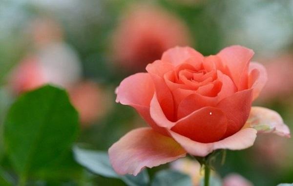 Размножение роз черенками