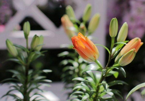 Лилии: посадка и уход