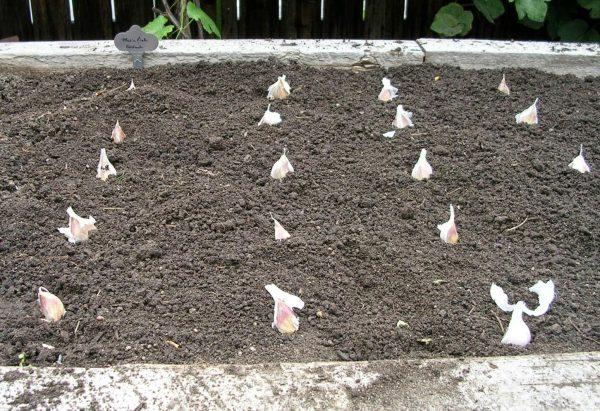 Правила посадки чеснока осенью