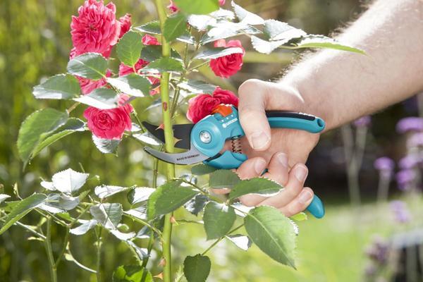 Правильный уход за розами летом