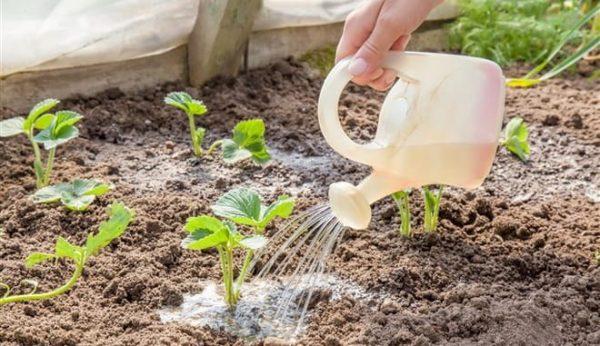 Подкормка клубники после плодоношения