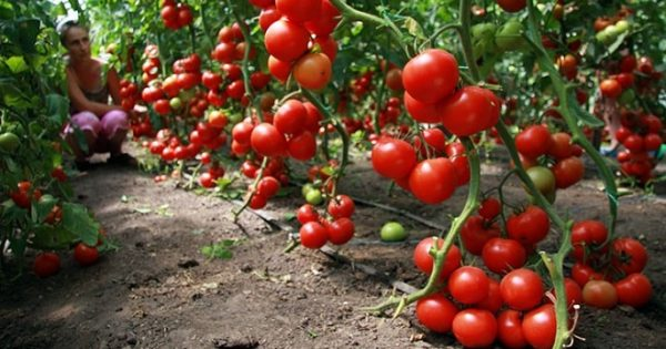 трескаются помидоры в открытом грунте причины
