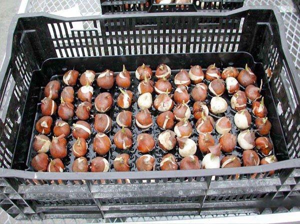 Ящик для хранения луковиц тюльпанов