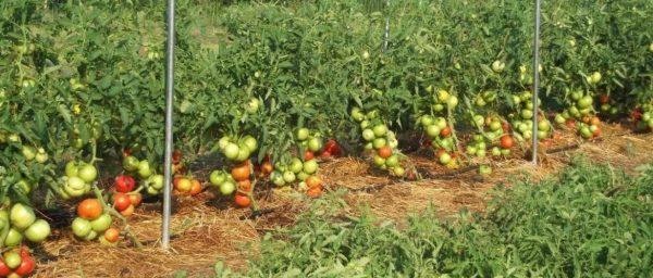 Что можно сажать после чего на огороде