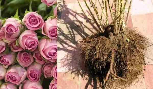 Как правильно пересаживать розы