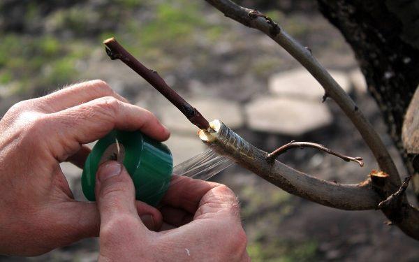 Как привить яблоню самостоятельно