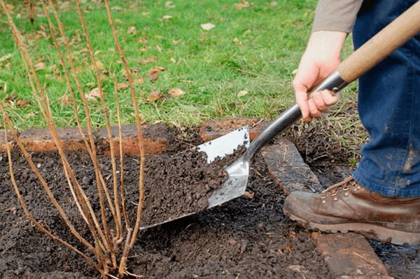 Когда и как садить смородину осенью