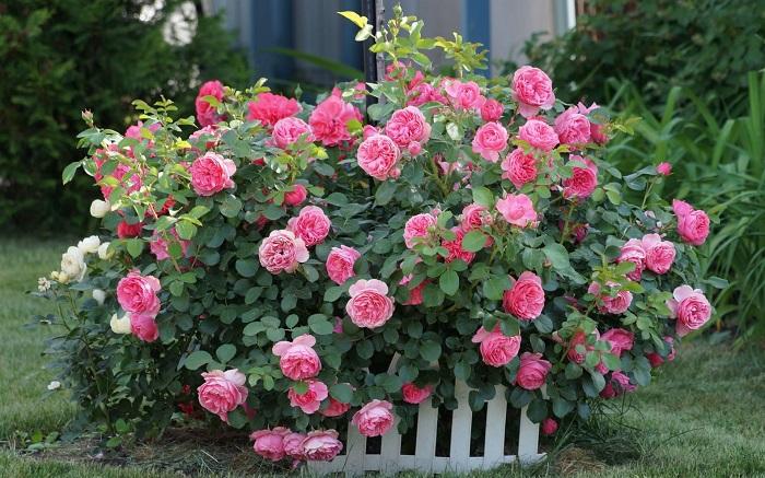 Обрезка роз на зиму - 30 фото примеров правильной подготовки роз к зиме