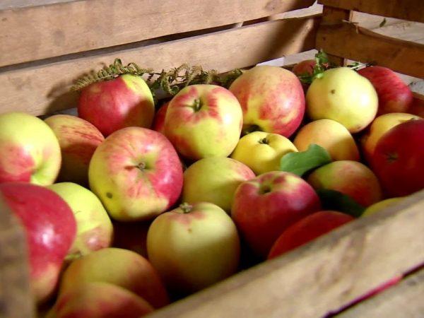 Способы сохранить яблоки свежими на зиму