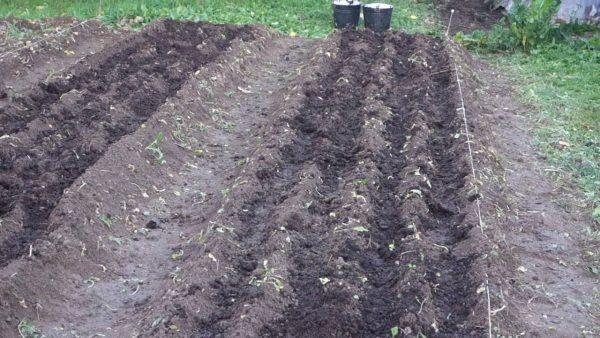 Сроки посадки чеснока под зиму