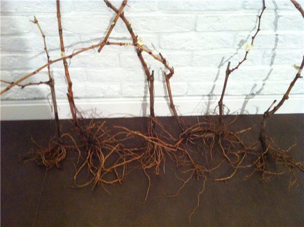 Как правильно пересадить виноград осенью