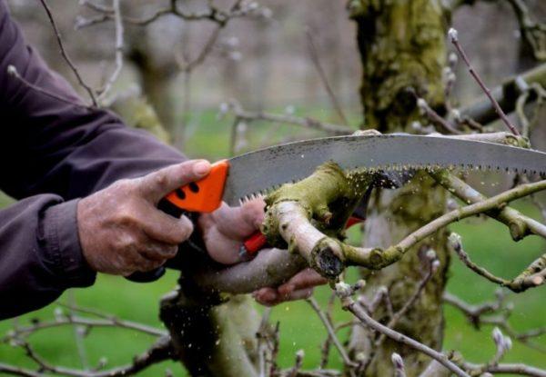 Как обрезать яблони осенью