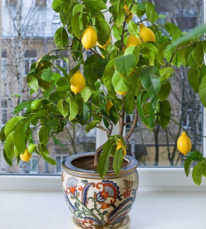 Выращивание лимона в домашних условиях в горшке