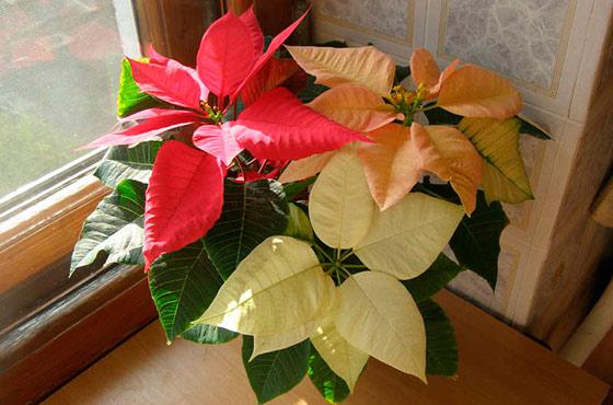 Цветок пуансеттия: правильный уход